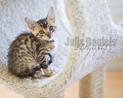 Tsuki (JeezyDeezy) Tags: cat carpet dof tsuki bengal watermark week24 2013 week24theme weekofjune10 52weeksthe2013edition 522013