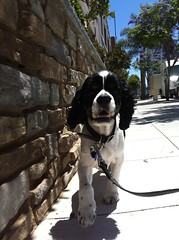 Humphrey (pawstopavementsd) Tags: dog cute sandiego cockerspaniel