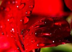 Ignoring gravity (tom.leuzi) Tags: red flower macro rot nature wet water rain schweiz switzerland drops wasser dof bokeh flash natur outoffocus blume makro blitz regen nass canonef100mmf28macrousm strobist canoneos7d