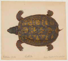 Cistudo (top view) (Middleboro, Mass., June 1852) (The Ernst Mayr Library) Tags: turtle cambridgemass boxturtle jacquesburkhardt taxonomy:common=boxturtle scientificdrawings cistudo taxonomy:genus=cistudo