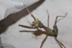 mantis (Lue Macraven) Tags: mantis
