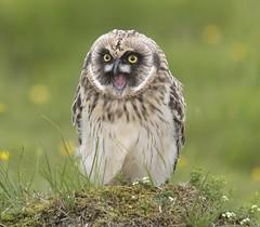 Short-eared Owl 20 (brandugla) (Svenni and his Icelandic birds.) Tags: shortearedowl asioflammeus brandugla