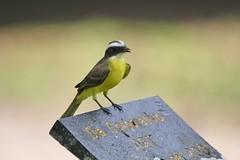 Social Flycatcher (Swenglishnick & Zimgirl) Tags: bird costarica honeymoon socialflycatcher myiozetetessimilis sarapiqui tyrantflycatcher laselvaotsreserve