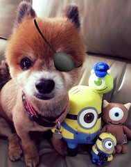 單眼仔最可愛 (minioreocake) Tags: bear dog mike monster pomeranian 狗 wazowski minion 博美 花花 迷你兵