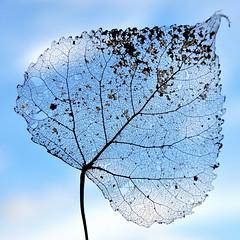 Arsenic et vieilles dentelles (1) Série (Anne*°) Tags: ©annedhuart ♠ 2013 dentelles lace leaf feuille sky ciel decomposition explore série intertwining entrelacs annedhuart