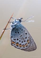 Silver-studded blue / Heideblauwtje (Kees Waterlander) Tags: macro other natuur natuurgebieden bargerveen heideblauwtje geleedpotigen vlindersenrupsen