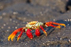 Sally Lightfoot Crab (Dmytro Cherkasov) Tags: nature animal ecuador wildlife crab sealife sally galapagos lightfoot 500px ifttt