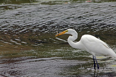 Great Egret_010 (Walt Barnes) Tags: lake bird nature water canon eos bay pond scenery wildlife lagoon richmond calif greategret 60d millerknox canoneos60d eos60d ebparksok wdbones99