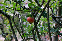 ... ready ... (jane64pics) Tags: red apple nature fruit canon orchard wicklow bray gcc appletree ripe killruddery killrudderyhouse killrudderyhouseandgardens greystonescameraclub janefriel