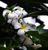 Champa (Ajinhari) Tags: india flower floral frangipani magnolia poo chennai tamilnadu champa dakshinchitra nikond7000 ajinhari nikkor55200mmafsdx