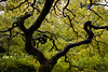 Maple (Eric Hanson's Photostream) Tags: portland maple rx100 goldenart