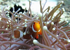 IMG_1518 (anneastorga) Tags: fish marine underwater nemo philippines crab scuba diving clownfish anilao batangas lionfish biodiversity