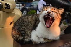 "Meaaooouu""I""m too sleepy (jewfros) Tags: wild cute tongue cat tooth mouth vespa yawn sleepy"