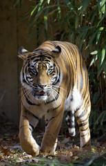 Smithsonian National Zoo Sumatran Tiger  (365) (smata2) Tags: zoo washingtondc smithsonian dc tiger tigre nationscapital smithsoniannationalzoo greatcats itsazoooutthere zoosofnorthamerica flickrbigcats