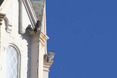 Peregrine Falcon Pair (fredhosley) Tags: november bird church nature canon ma wildlife massachusetts raptor 7d falcon mass peregrine haverhill 2013 100400mml
