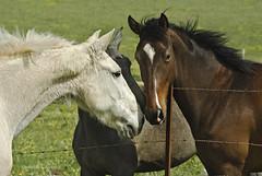 caballos (-Sambuco-) Tags: caballos andaluca cdiz medinasidonia