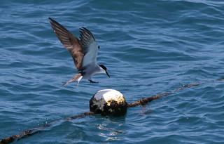 Bridled Tern Landing (AU72)