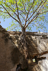 Planta alta 02 (supernova.gdl.mx) Tags: muro mexico arbol pared jalisco hacienda raiz abandonado