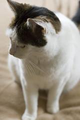 Big man (AAcerbo) Tags: white cute cat furry feline bokeh fat kitty ears fatcat fatso brow mandible