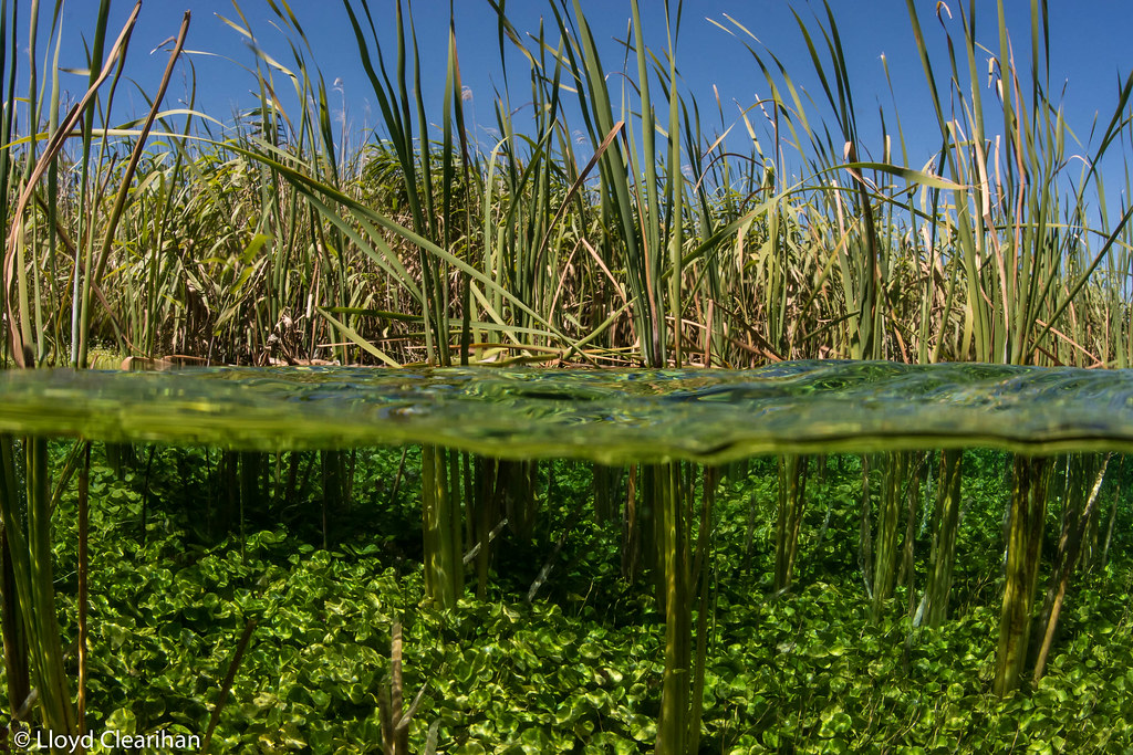 The world 39 s most recently posted photos of ewens flickr for Underwater pond plants