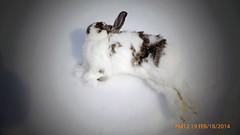 frozen rabbit (mereshadow) Tags: rabbit frozen fiver frozenbaby oldpet lumixlx7