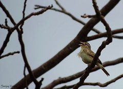 Canario-rasteiro (Hammodramus humeralis) (sanjaydomato) Tags: sparrow grassland sanjayveiga