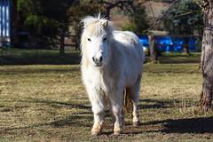 ein kleines weies Pferdchen (Maxi 66) Tags: pony pferde pferd