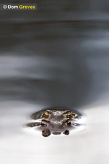 Toads Aligned (Dom Greves) Tags: uk spring pond wildlife amphibian dorset mating spawning wetland bufobufo behaviour sexualreproduction commontoad amplexus