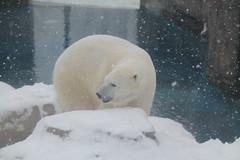 Polar Bear (Michael Lovas Photography) Tags: bear white snow cold animal canon zoo pittsburgh pa exotic huge t3 polar dslr