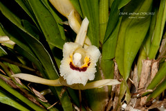 Chondrorhyncha andreae CHM/AOS (Orchidelique) Tags: plant orchid flower nature exotic species chm aos andreae dsmith chondrorhyncha ncjc chdrh