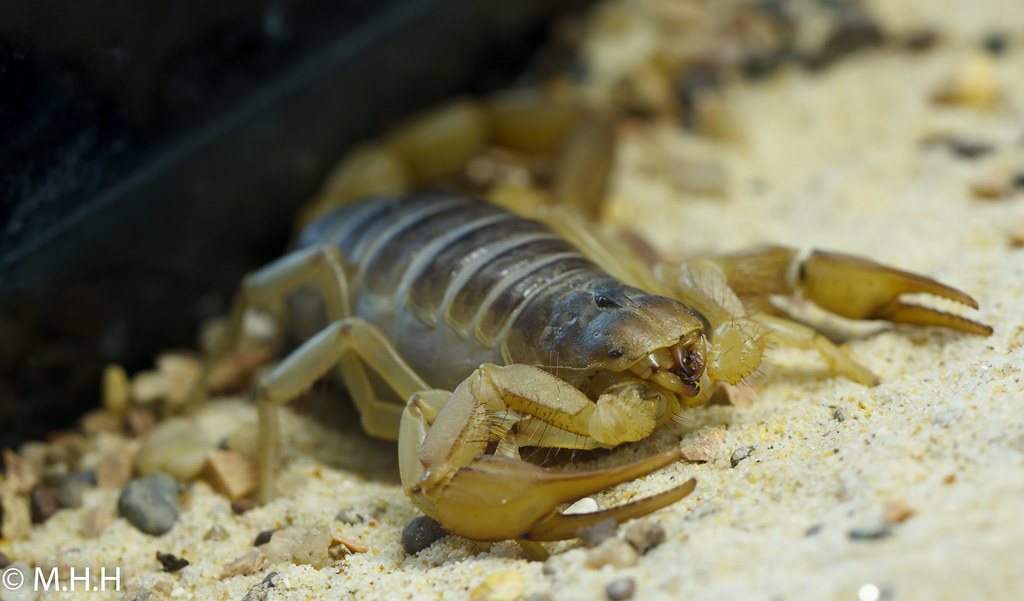 The World's newest photos of deathstalker and scorpion
