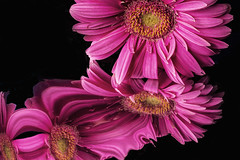 Gerbera Distortions (Bill Gracey) Tags: flores flower color macro reflections distorted flor shapes softbox mylar macrolens macrophotography distortions gerberadaisy offcameraflash mylarreflections yn560ii yongnuorf603n