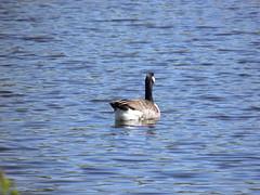 Canadags, Branta canadensis (birding.dk) Tags: als brantacanadensis snderborg canadags snderskoven fredsmaj 28042014