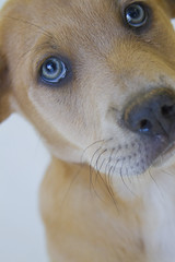 Ramon the 8 week old Adopted Shepherd Mix. (Immature Animals) Tags: arizona rescue baby white male animal puppy naked nose google eyes lab flickr labrador shepherd young tan az canine save foster bark pup ramon adopted adopt petco facebook petfinder koalition petcofoundation barktucson