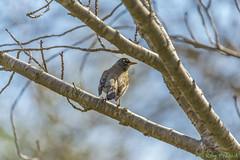 American Robin-3 (Roy Prasad) Tags: california bird robin sony american alpha tamron prasad americanrobin a7ii a72 150600mm royprasad laea4