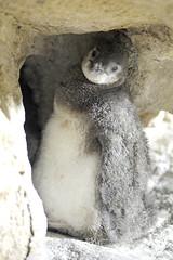 Pulcino di pinguino (AcquarioVillage) Tags: travel sea nature aquarium mare famiglia weekend genoa genova leisure viaggi pinguin lovenature pinguino pinguini tempolibero acquariodigenova acquariovillage