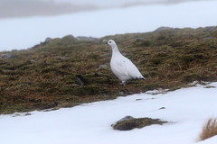 Ptarmigan - Scottish Highlands (Ally.Kemp) Tags: winter white snow birds scotland highlands scottish ptarmigan
