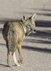 Bird Viewing Preserve_Henderson (JME_Photos) Tags: nature canon wildlife nevada henderson cayote 400mm