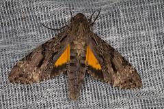 Isognathus swainsonii (K. Zyskowski and Y. Bereshpolova) Tags: brazil sphingidae amazonas yavari javari swainsonii palmari isognathus