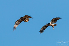 Juvenile Bald Eagles Play in the Sky Sequence - 7 of 10