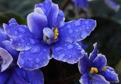 True Blue (PhotosbyDi) Tags: blue flower garden hmm africanviolet 020100 nikond600 033365 thisilove macromondays happymacromonday tamronf2890mmmacrolens