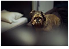 Griffon (bl∆ck c∆se   William Yianni Binks) Tags: leica brussels test dog black cute beauty vancouver germany puppy lens 50mm media bokeh sony voigtlander 14 15 case m will pup a7 nokton k9 binks griffon a7r a7s instagram