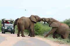 elephant crossing (pixpeeper) Tags: africa southafrica safari elephants kruger afriquedusud lowersabie pixpeeper