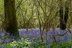20160505-_DSF2933.jpg (ClifB) Tags: flower spring may dorset bluebell 2016 rspb garstonwood rspbreserve