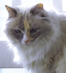 Princess (EX22218) Tags: cats pets sacred feral birman templecat alleycatallies alleycatadvocates
