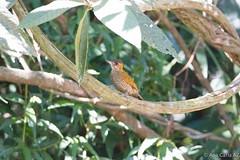 picapauzinho-de-testa-pintada (Veniliornes maculifrons) (Ana Carla AZ) Tags: birds rj aves lugares lidice piciformes picidae picapaus picapauzinhodetestapintada wikiaves veniliornesmaculifrons