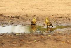 yellow hammers-2 (~ **Barbara ** ~) Tags: tree sunshine birds puddle spring walk wildlife northamptonshire foliage naturereserve hedge april bushes chaffinch wildbirds reedbunting warmish yellowhammers summerleys sigma150500 canon7dii