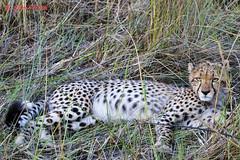 relaxing cheetah (acinonyx jubatus) (Colin Pacitti) Tags: animal outdoor ngc npc wildanimal cheetah predator carnivore acinonyxjubatus coth fantasticwildlife coth5 hennysanimals sunrays5