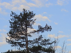 P5097111 (Paul Henegan) Tags: sky tree pine clouds f56 conifer earlymorninglight mamiyasekore50mmf17ssn88315