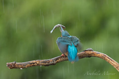 Kingfisher (arabellamercer) Tags: fish rain fauna movement kingfisher worcestershire avian alcedoatthis
